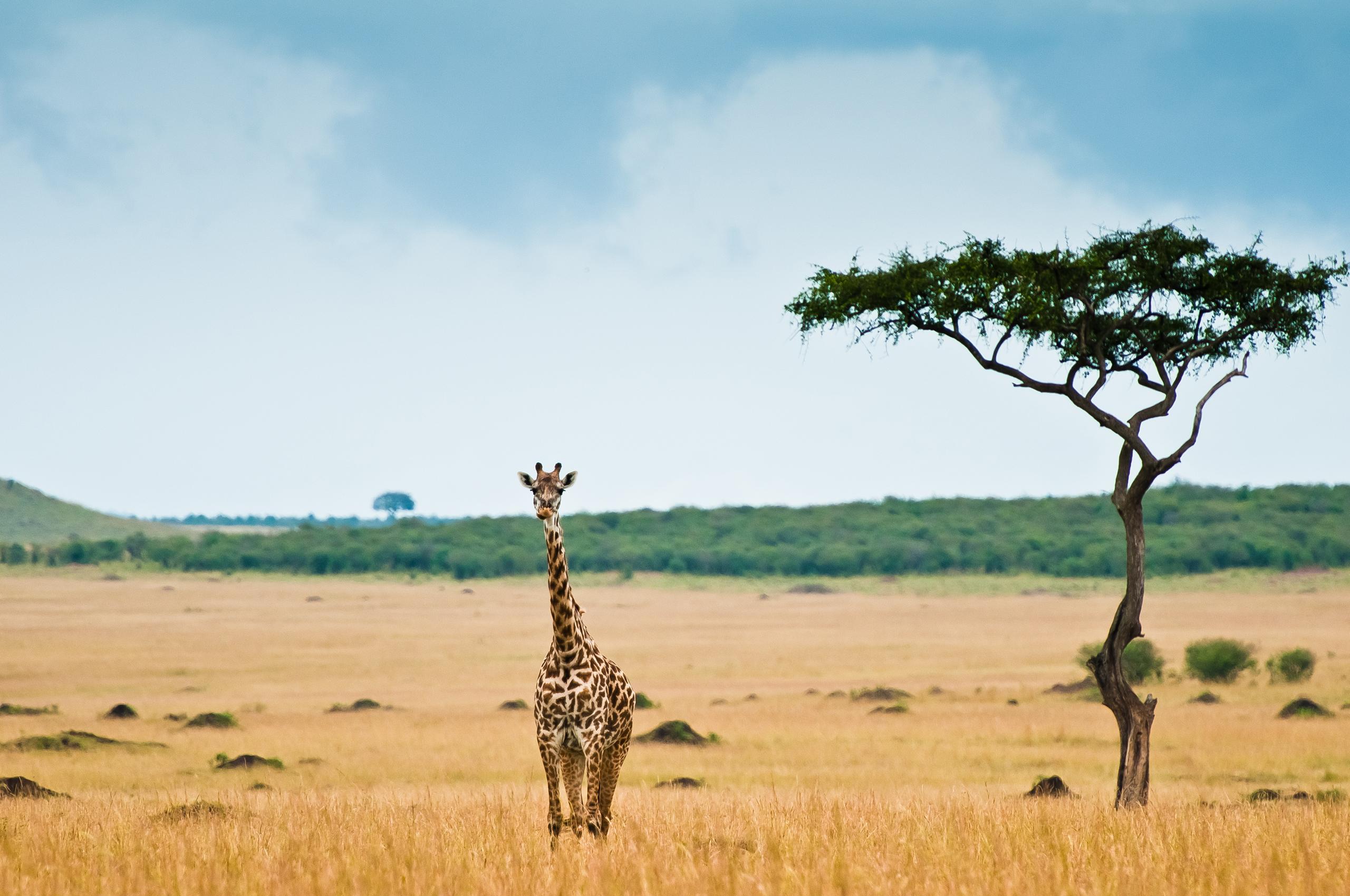 природа животные Гепарды камни трава дерево горизонт  № 276700 загрузить