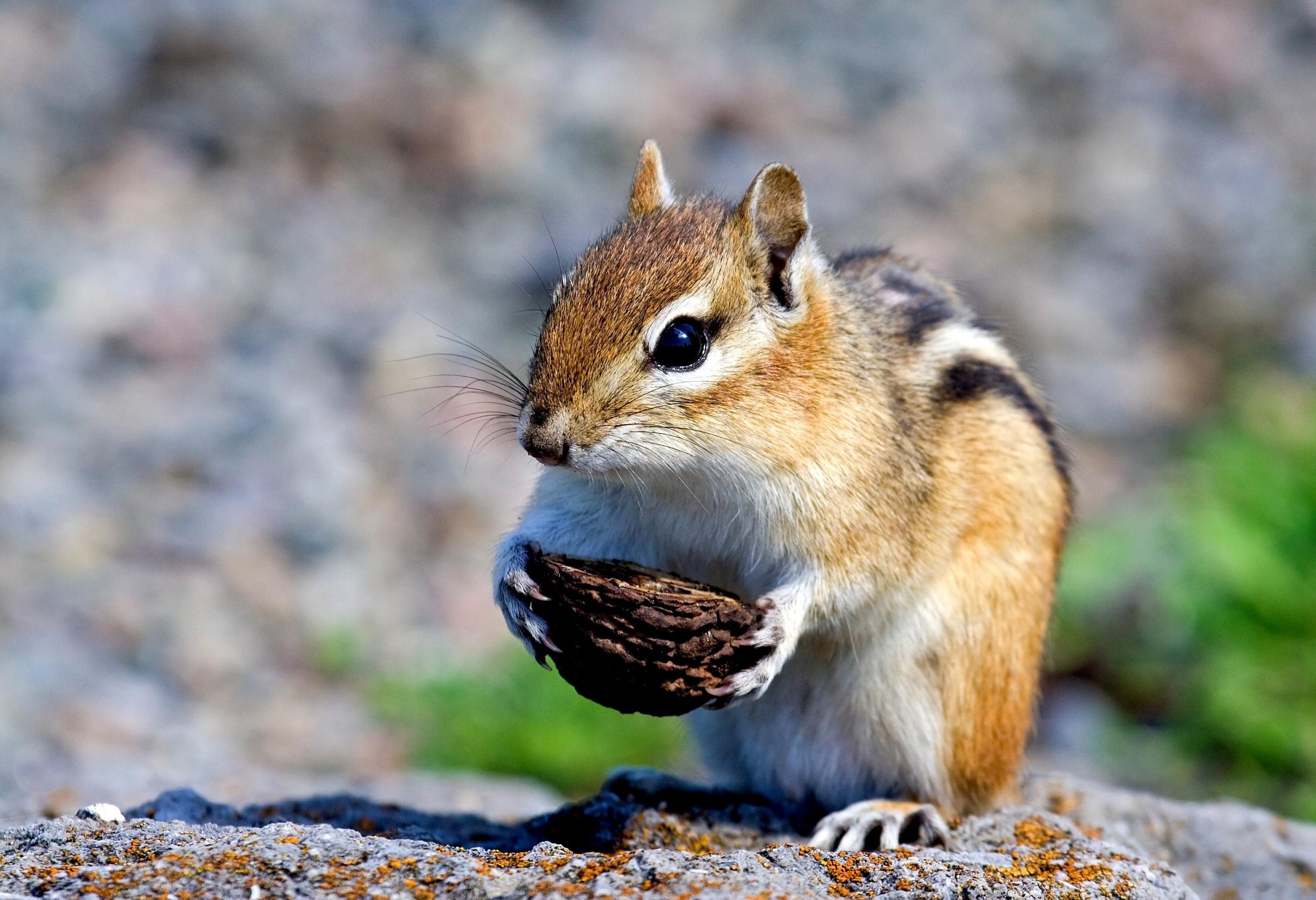 бурундук с арахисом  № 136433 загрузить