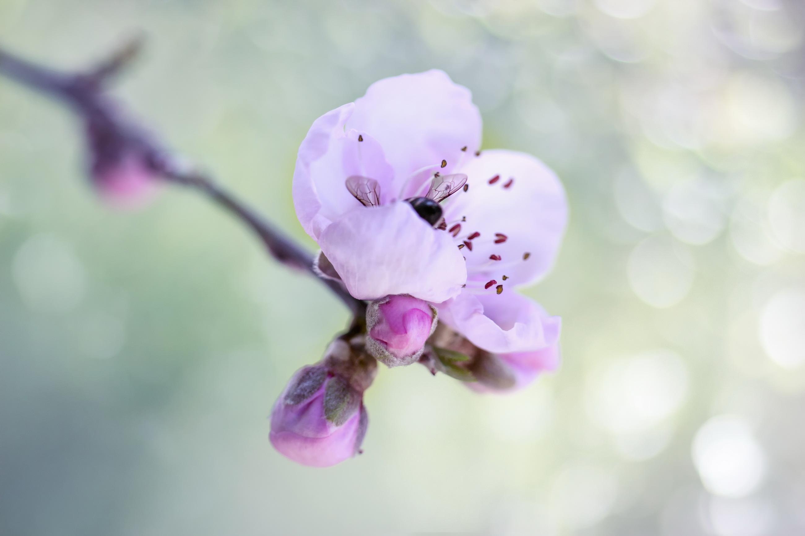 Шмель на цветущей ветке  № 1283646 без смс