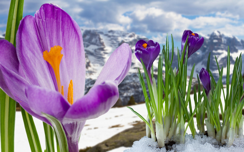 открытки крокусы в снегу попадали