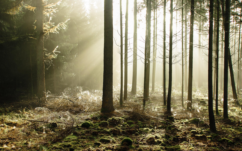 Лучи лес деревья  № 3847480 без смс