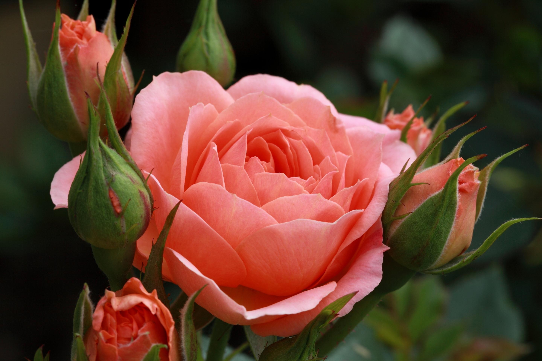 или красивые картинки бутонов роз тестем