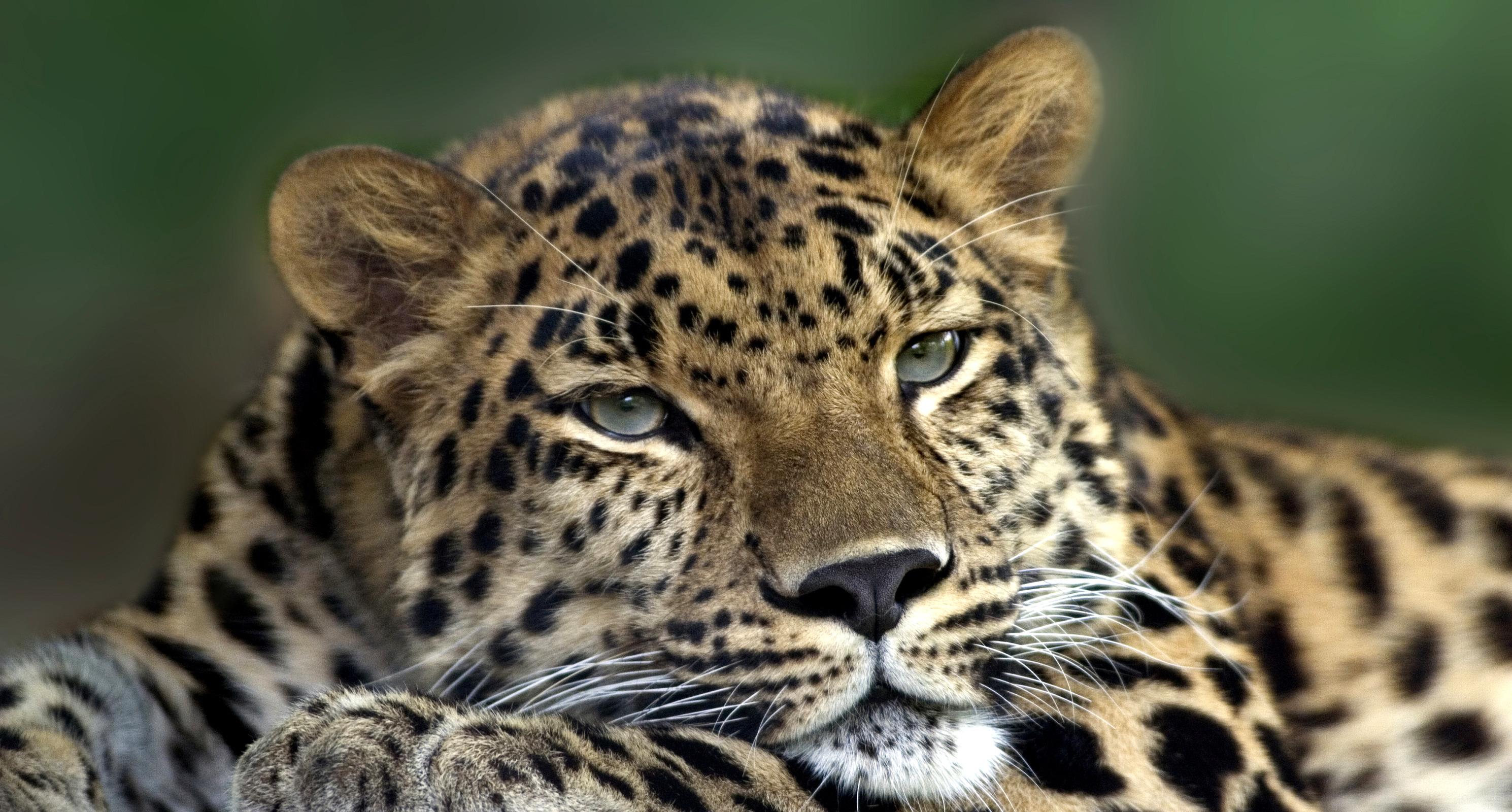 parambi leopard - HD1600×900