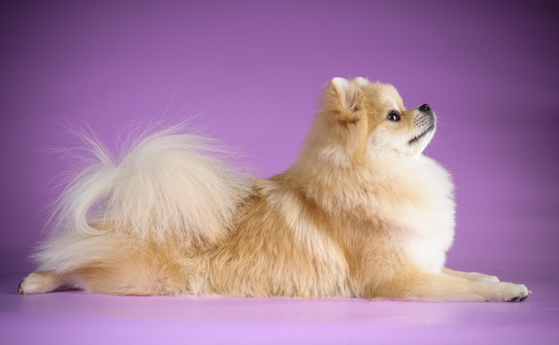 белые собаки щенки животные розовый фон  № 2918061 без смс
