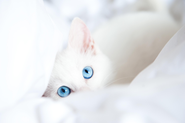 Голубоглазые кота  № 3010618 бесплатно