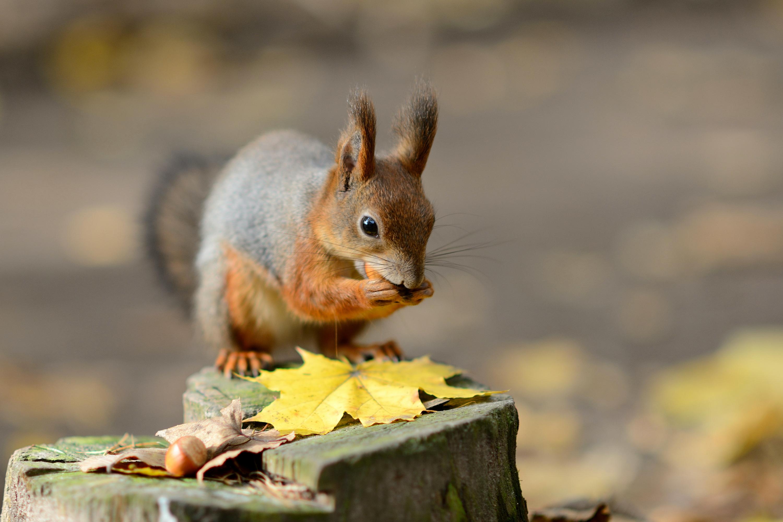 природа осень животное корзина семечки белка  № 2096042  скачать