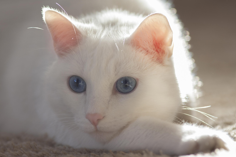 Белый кот разные глаза  № 2956441 бесплатно