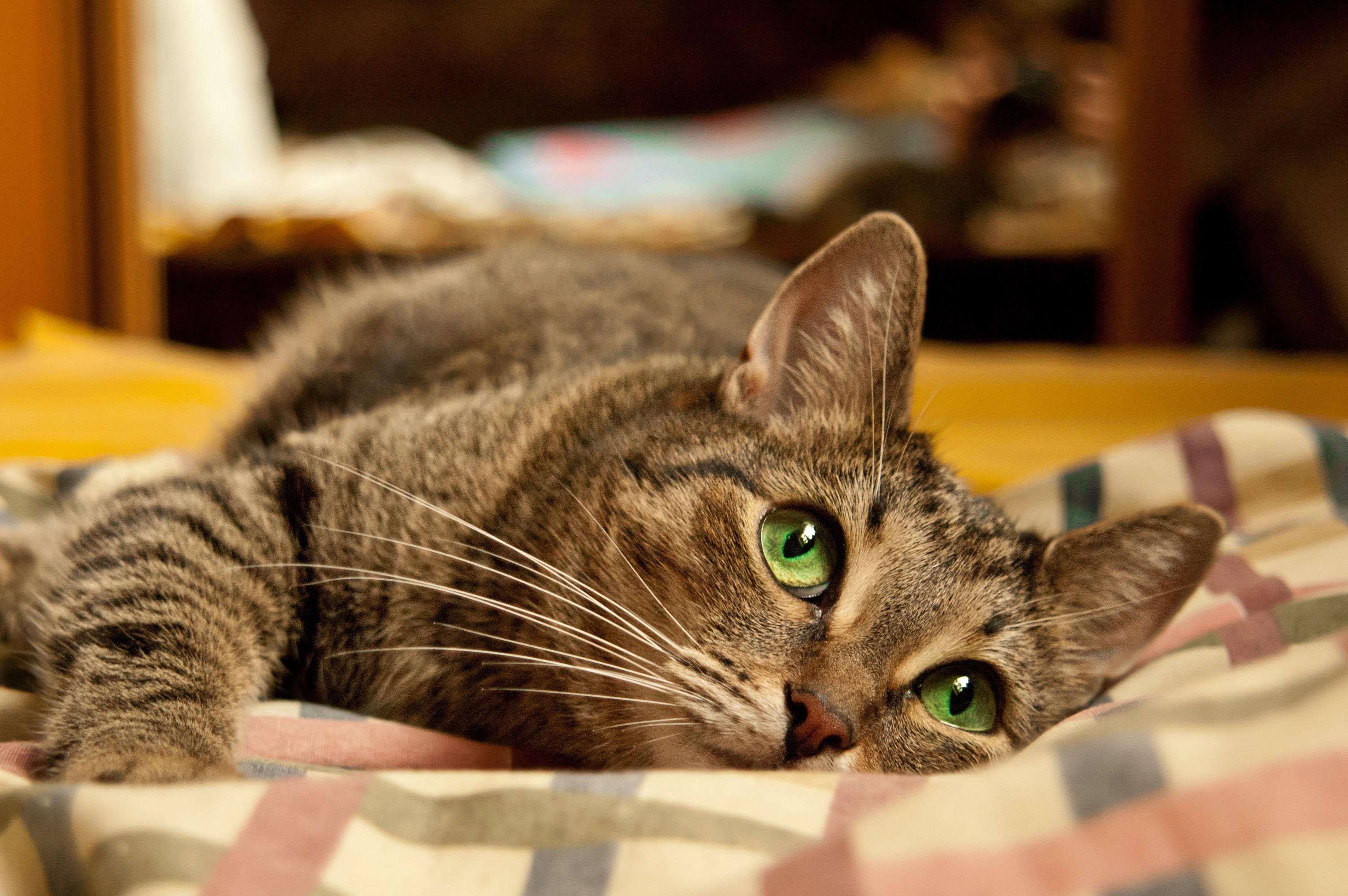 Поздравлением, картинки кошки на рабочий стол красивые