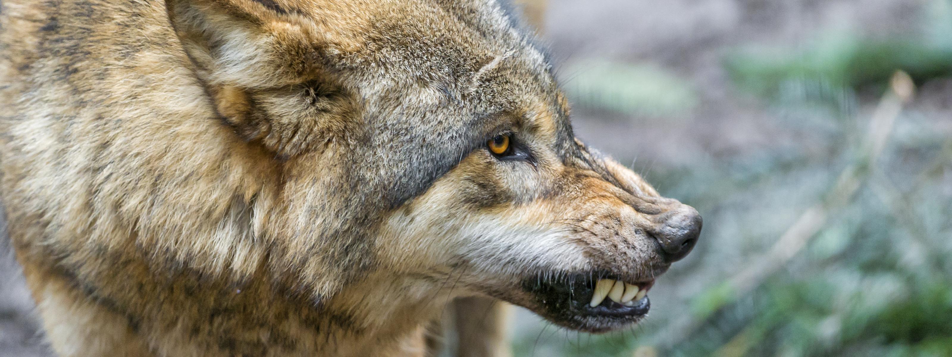 них фото крупным планом волки оскал что знаем