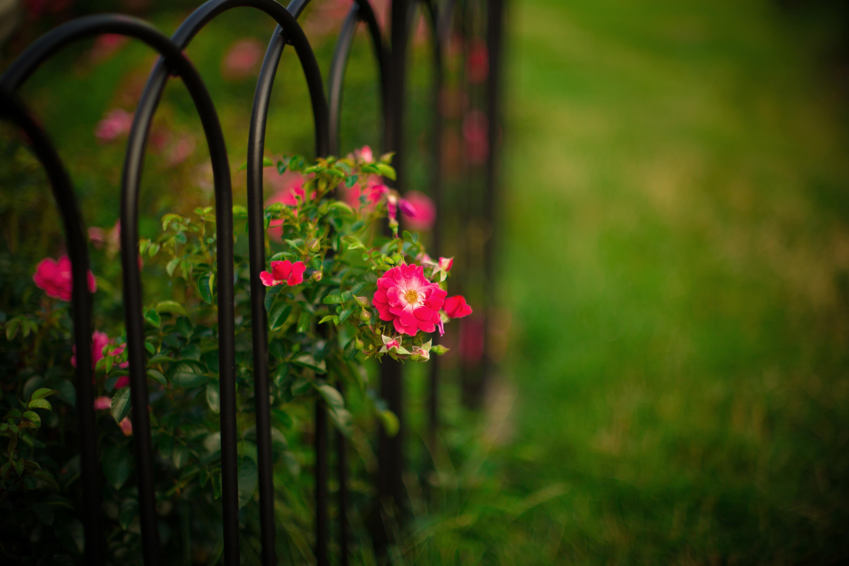 фото красивый розы в лес огне