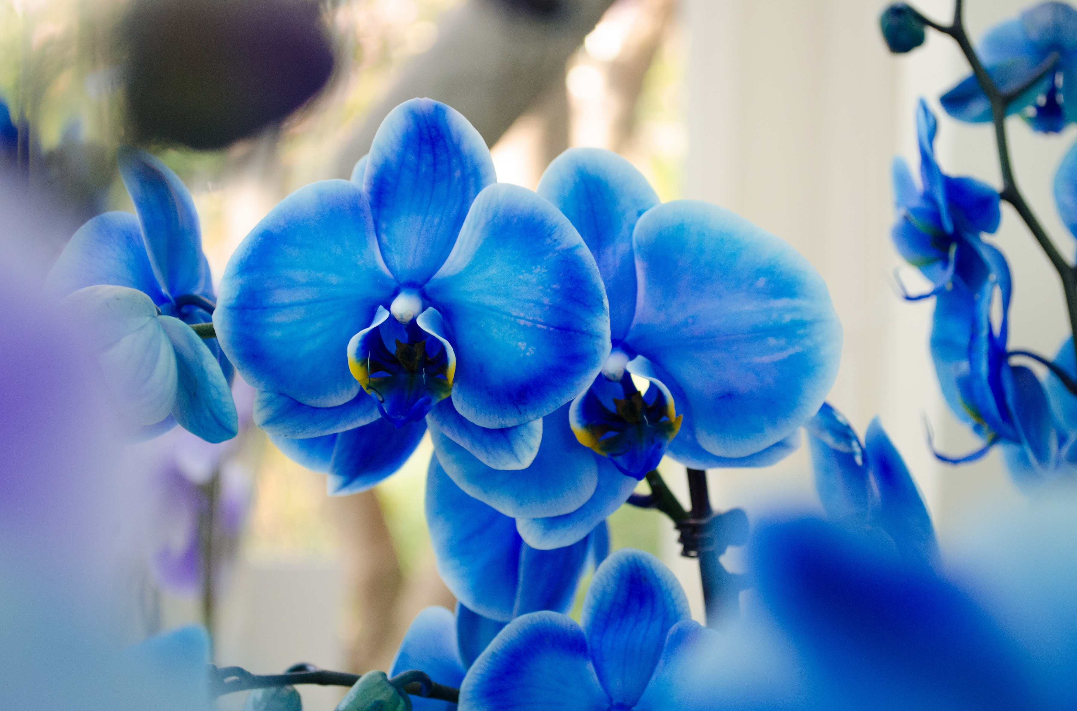 Купить живые голубые цветы