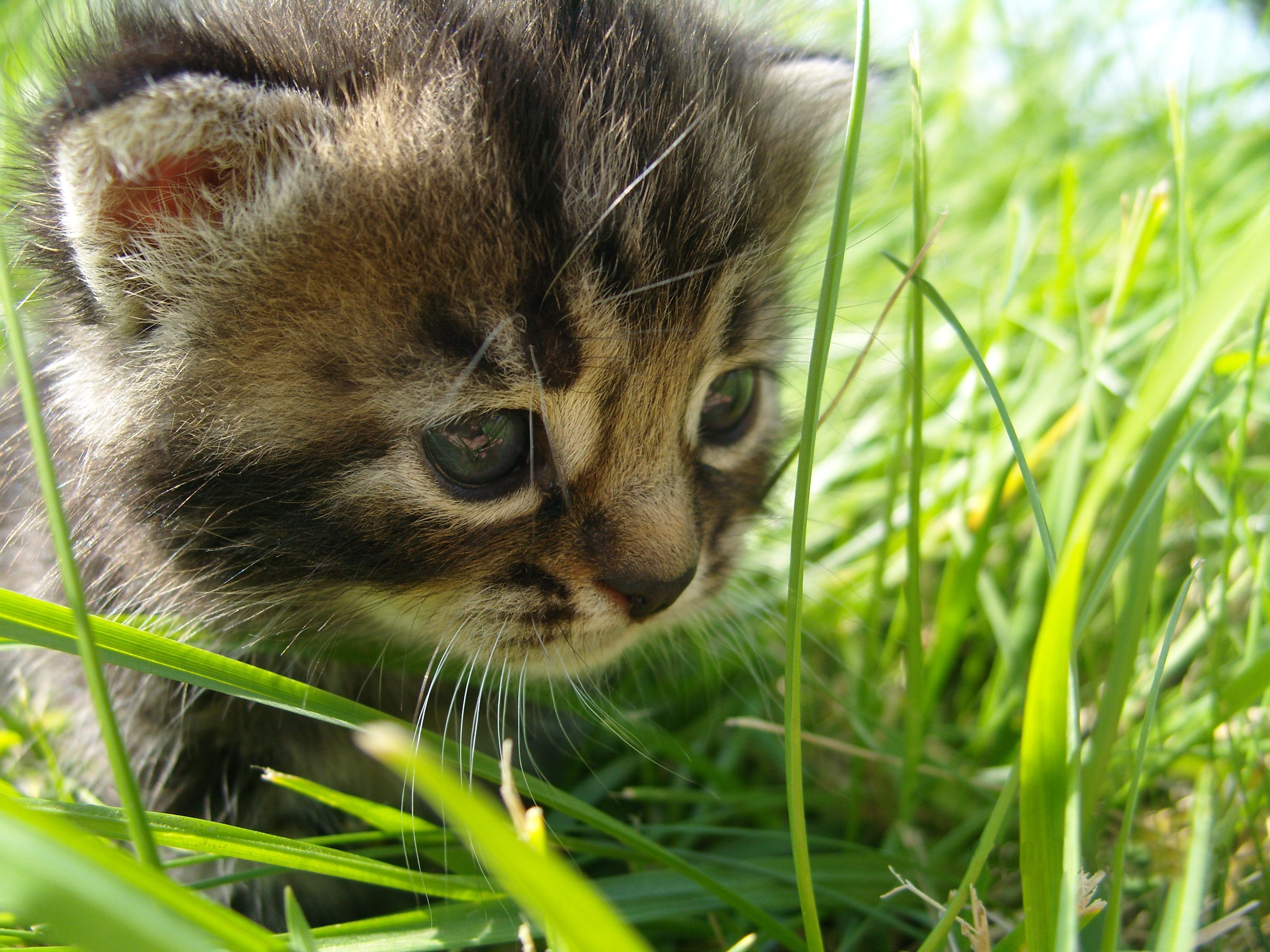 Котенок играющий с кошкой в траве  № 1994944  скачать