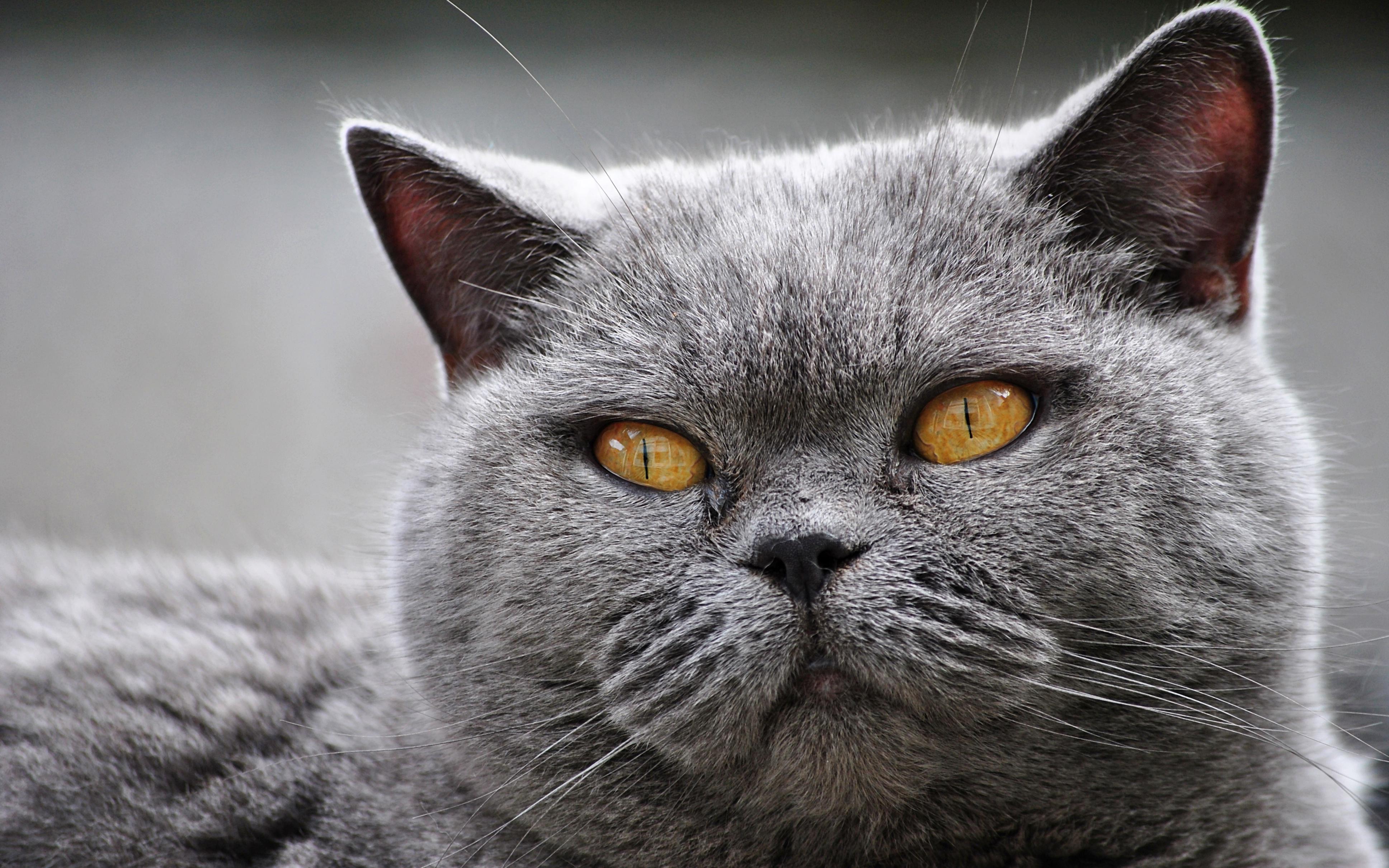 Фото красивых британских кошек на рабочий стол