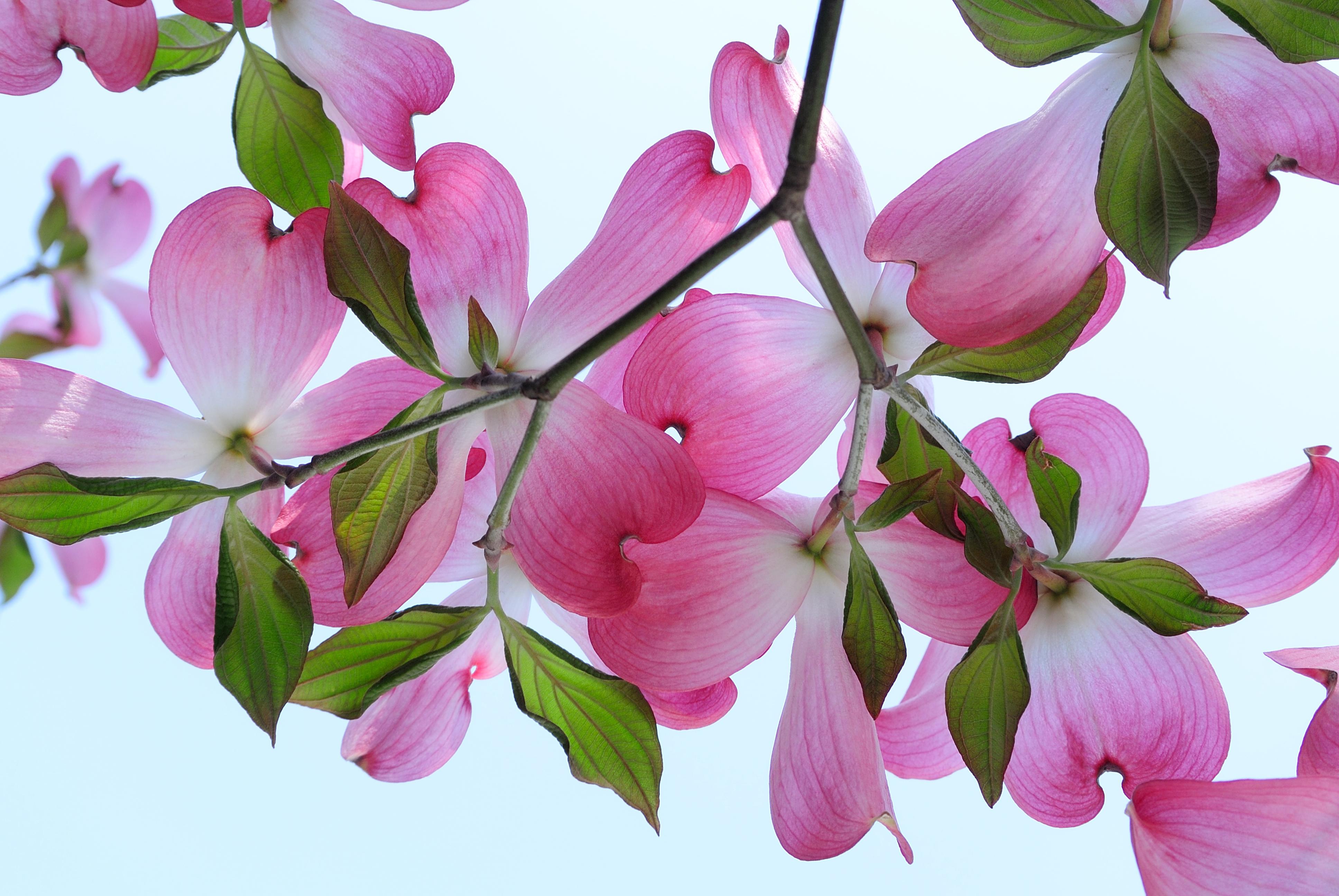 Цветы кизила картинки