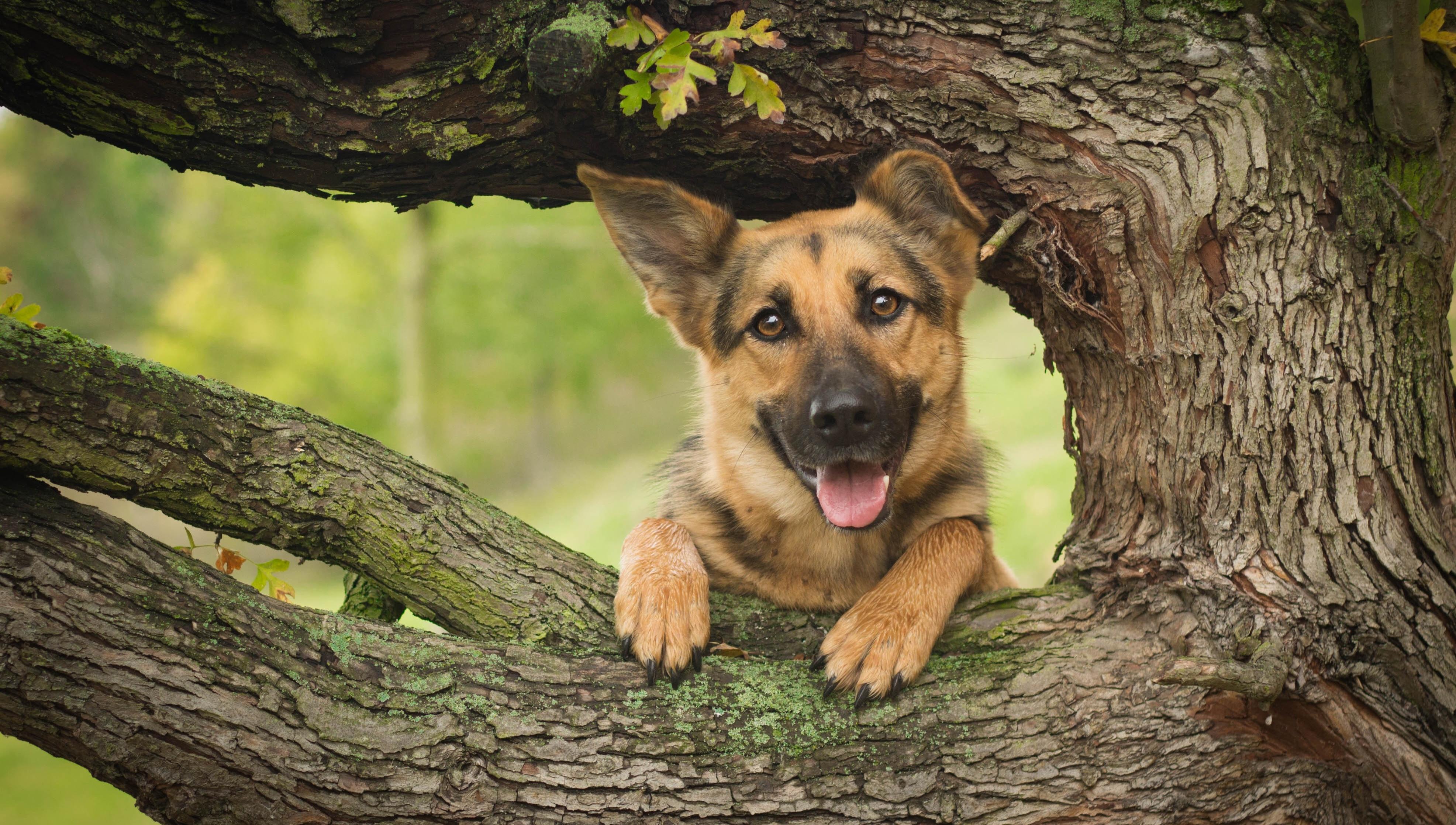 природа животные собака немецка овчарка nature animals dog the German shepherd  № 1004460  скачать