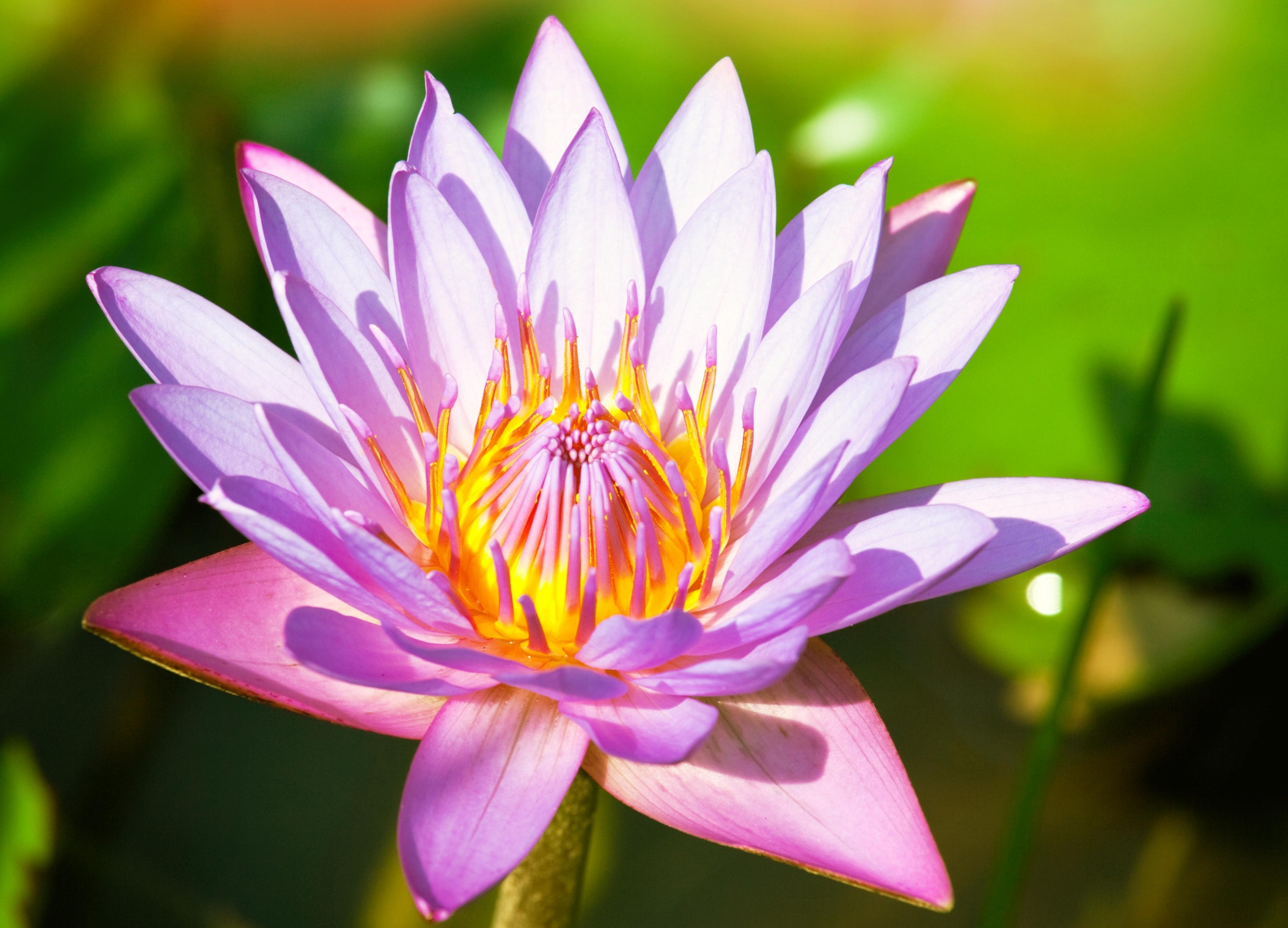 лилии цветы макро  № 2916841 загрузить
