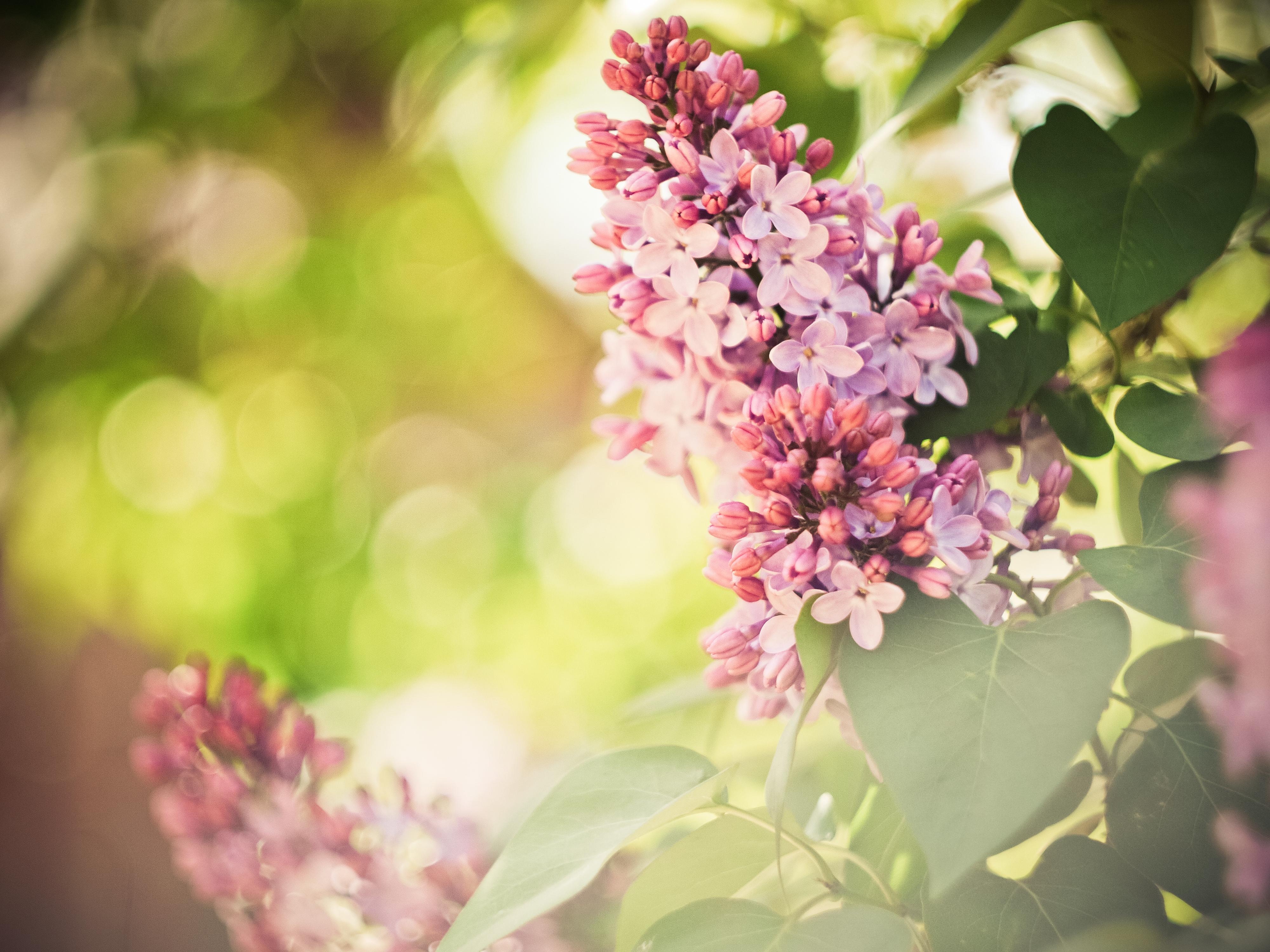 цветы природа сирень  № 2224250 без смс