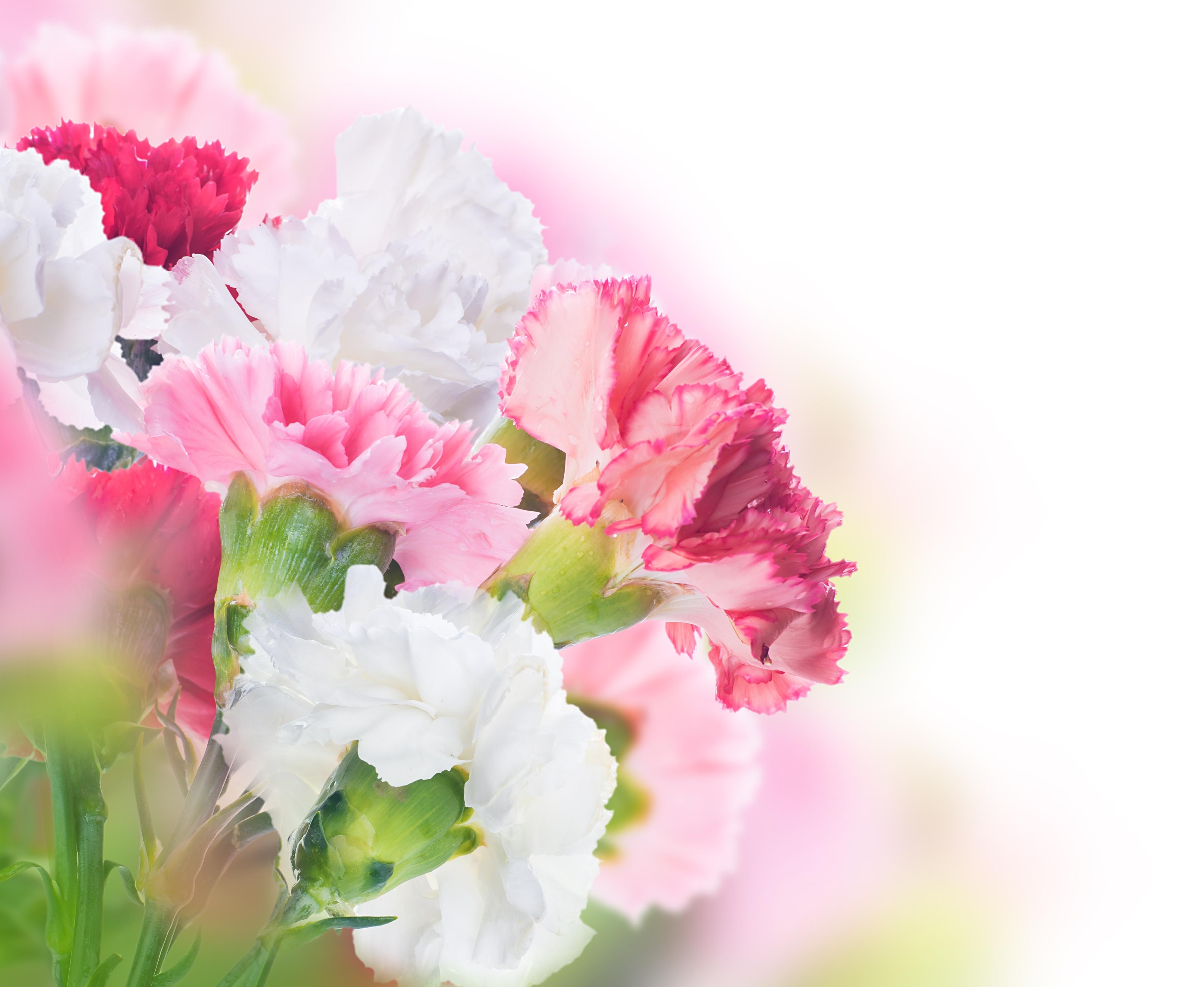 некоторых цветы для открыток гвоздики одной статье собрали
