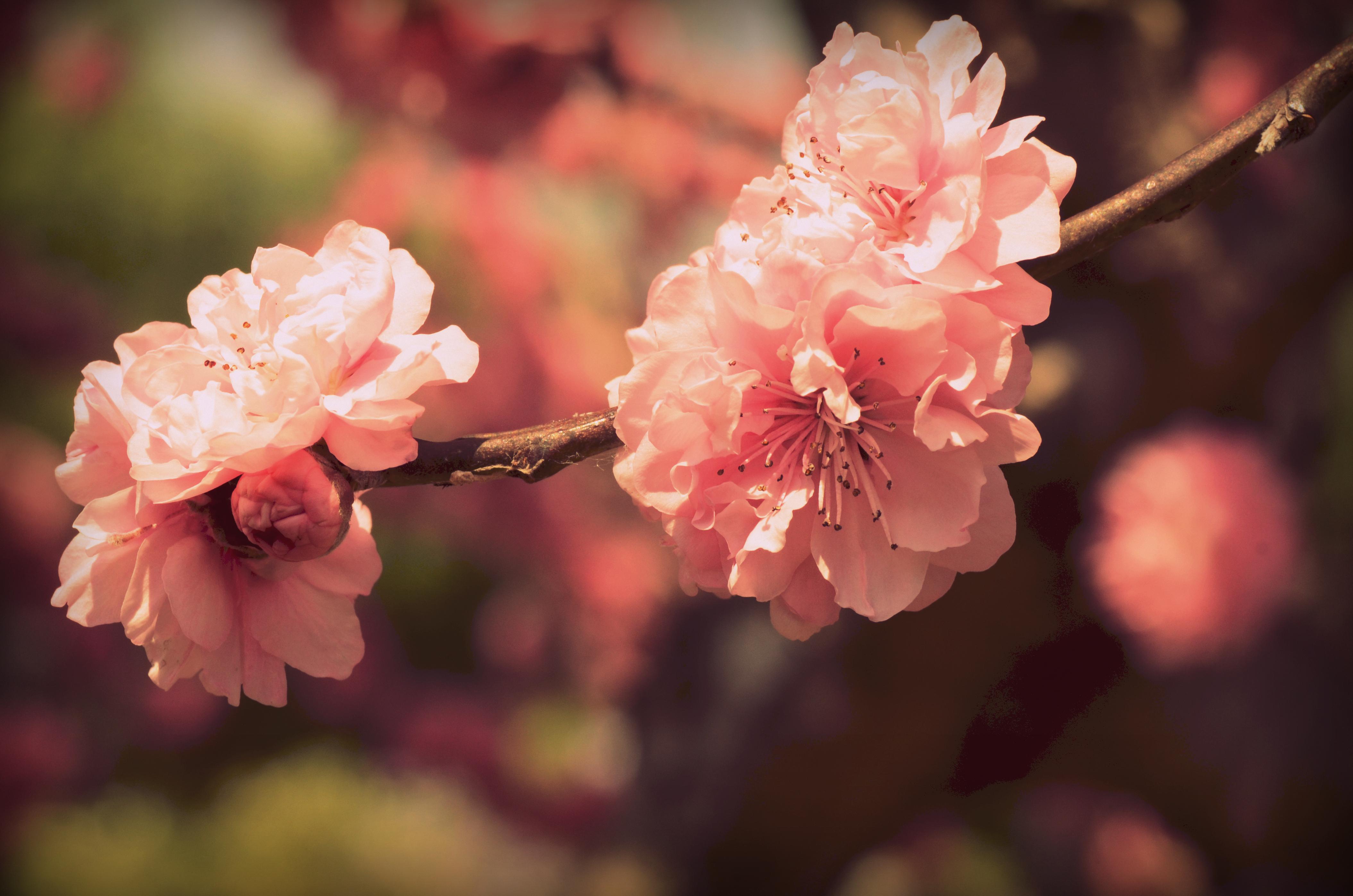 Расцвела как розовый букет, букетов севастополь