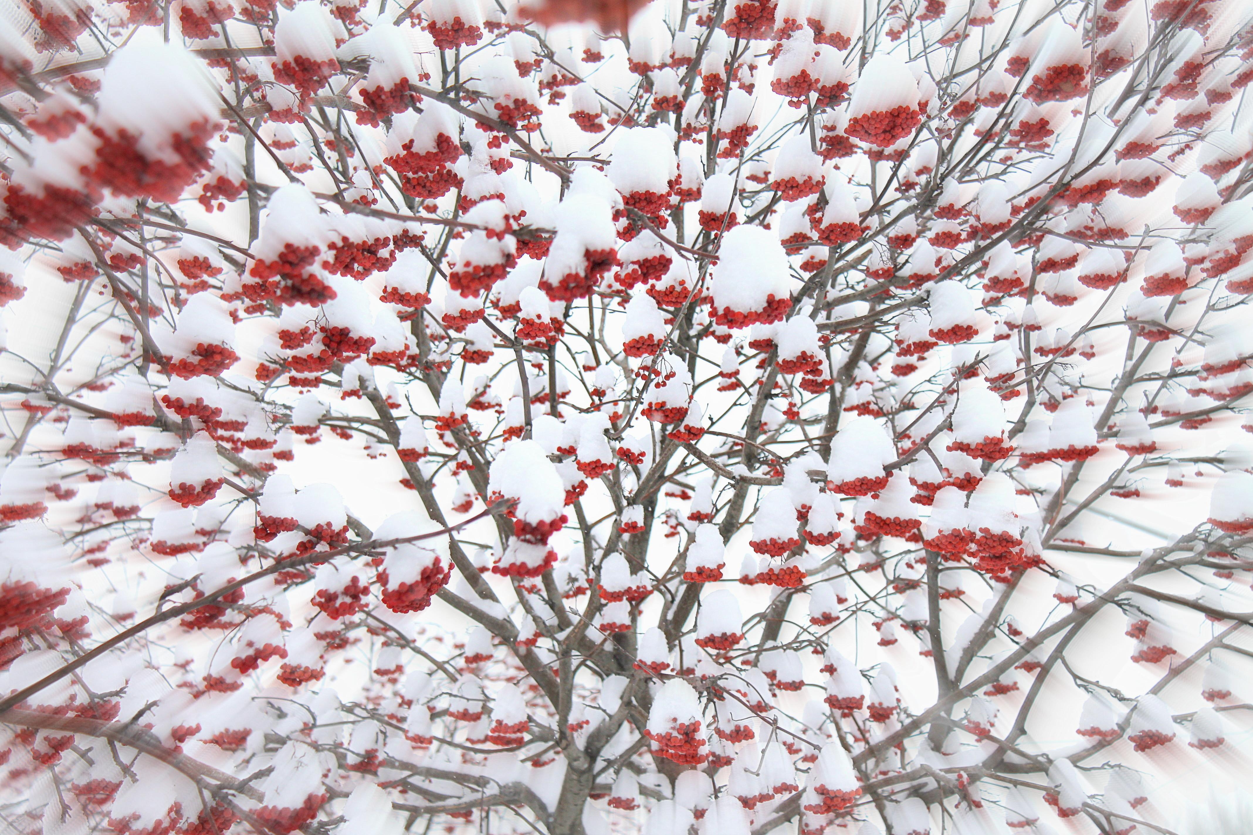 Картинки на рабочий стол зима рябина цвети