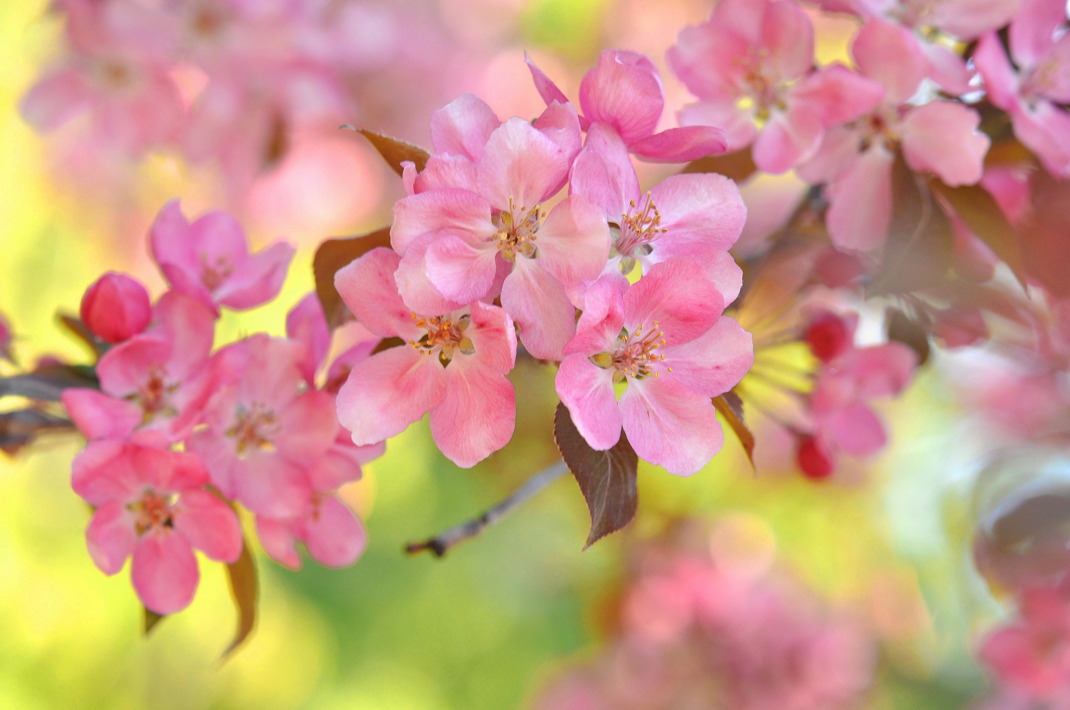 вишня цветение  № 2767190 бесплатно