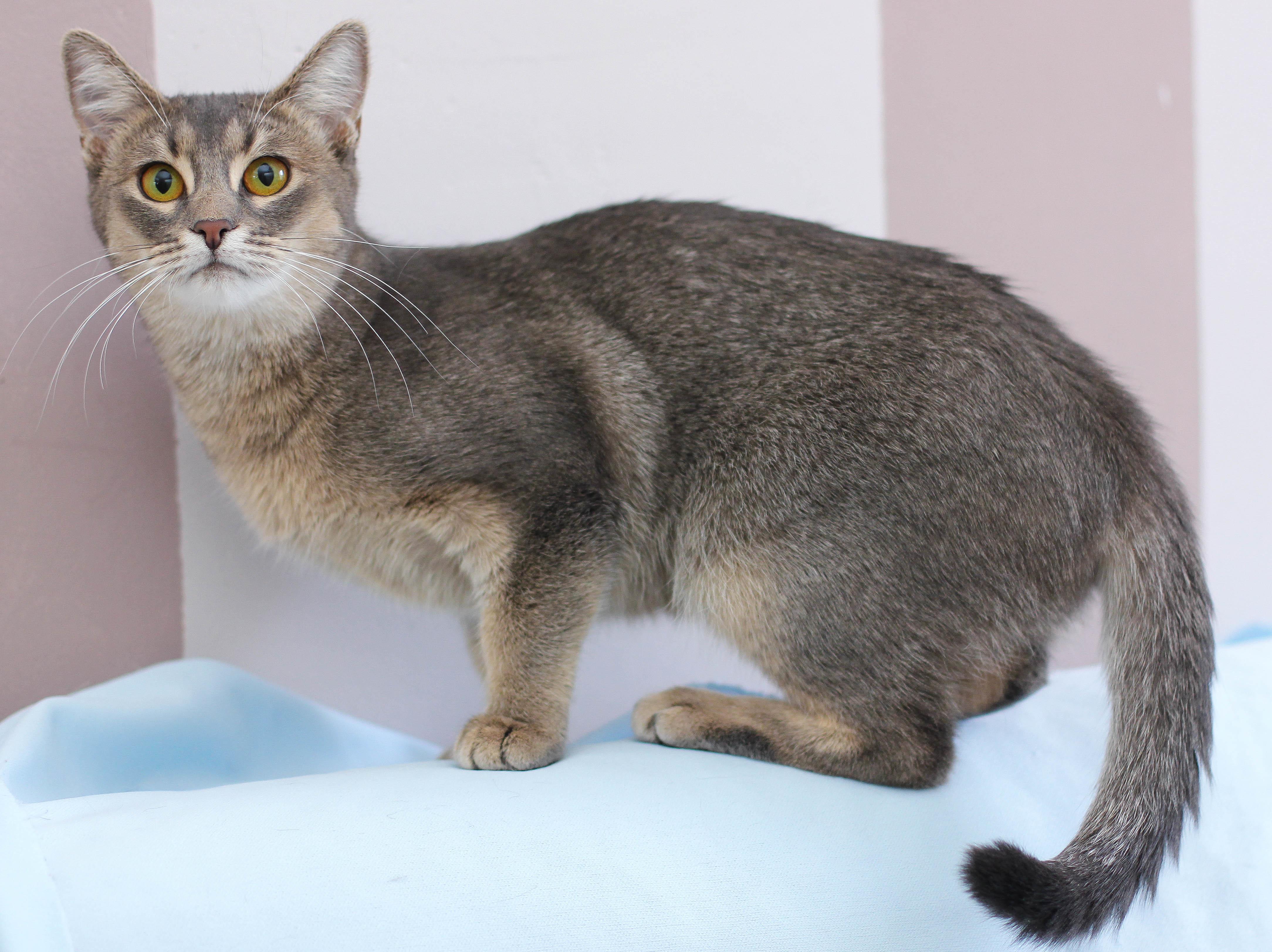 метисы абиссинской кошки фото должны располагаться