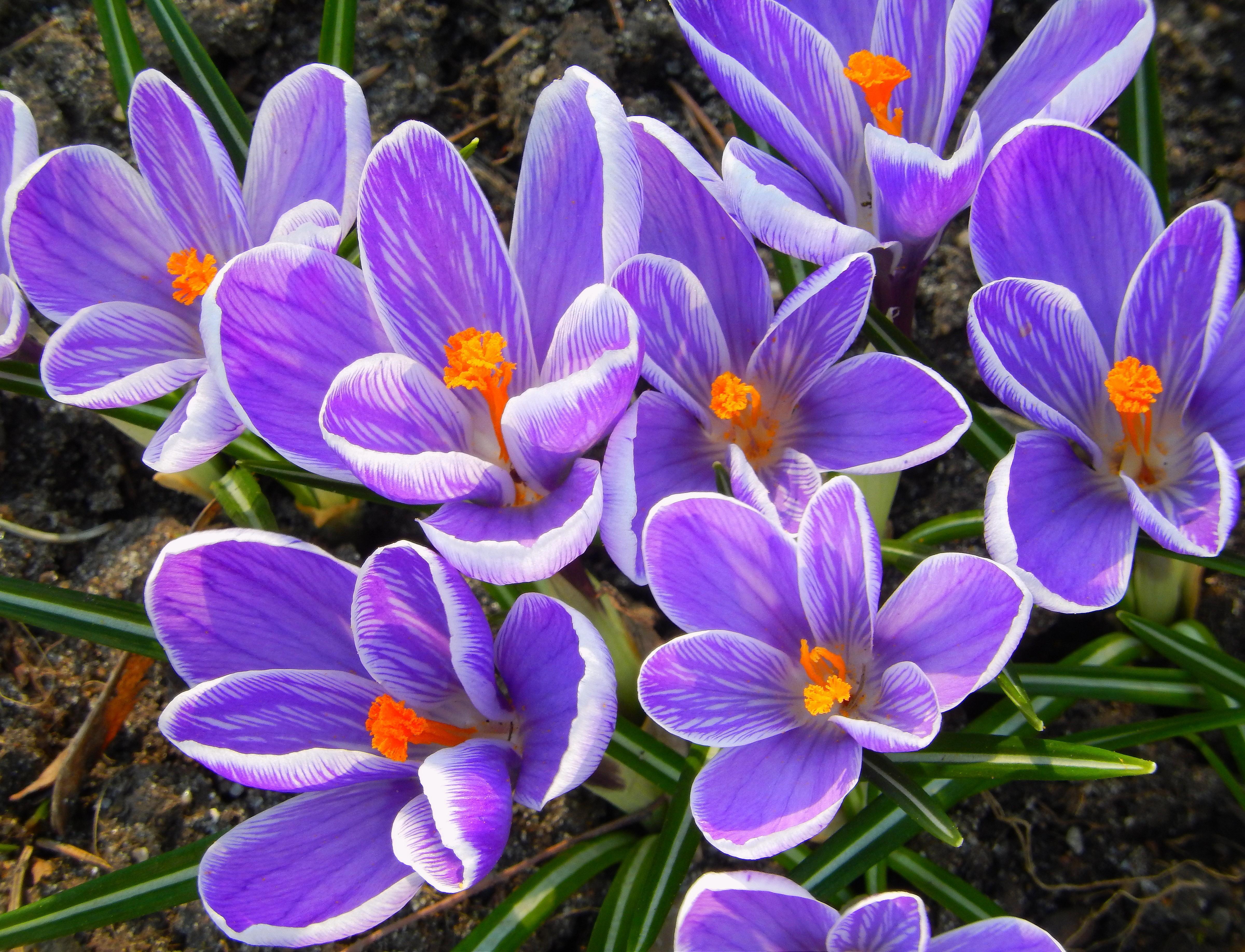 фото цветов крокусы: