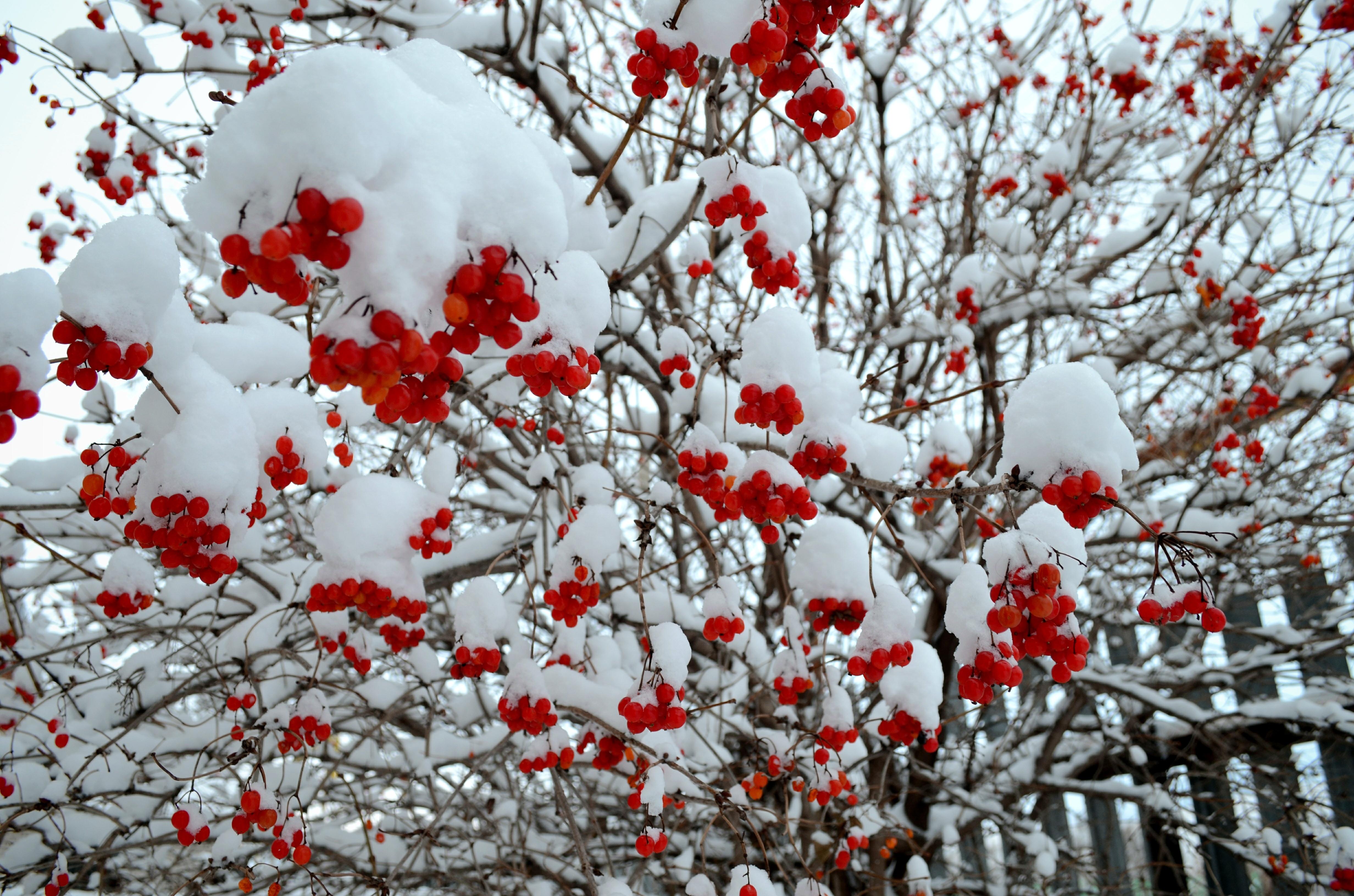 найти то, картинки с рябиной вот и зима дерево выглядит