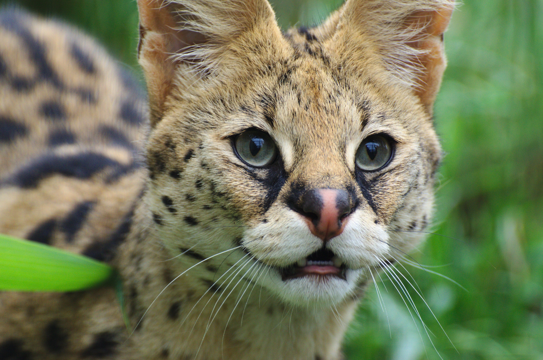 фото представителей кошачьих хищников испортили