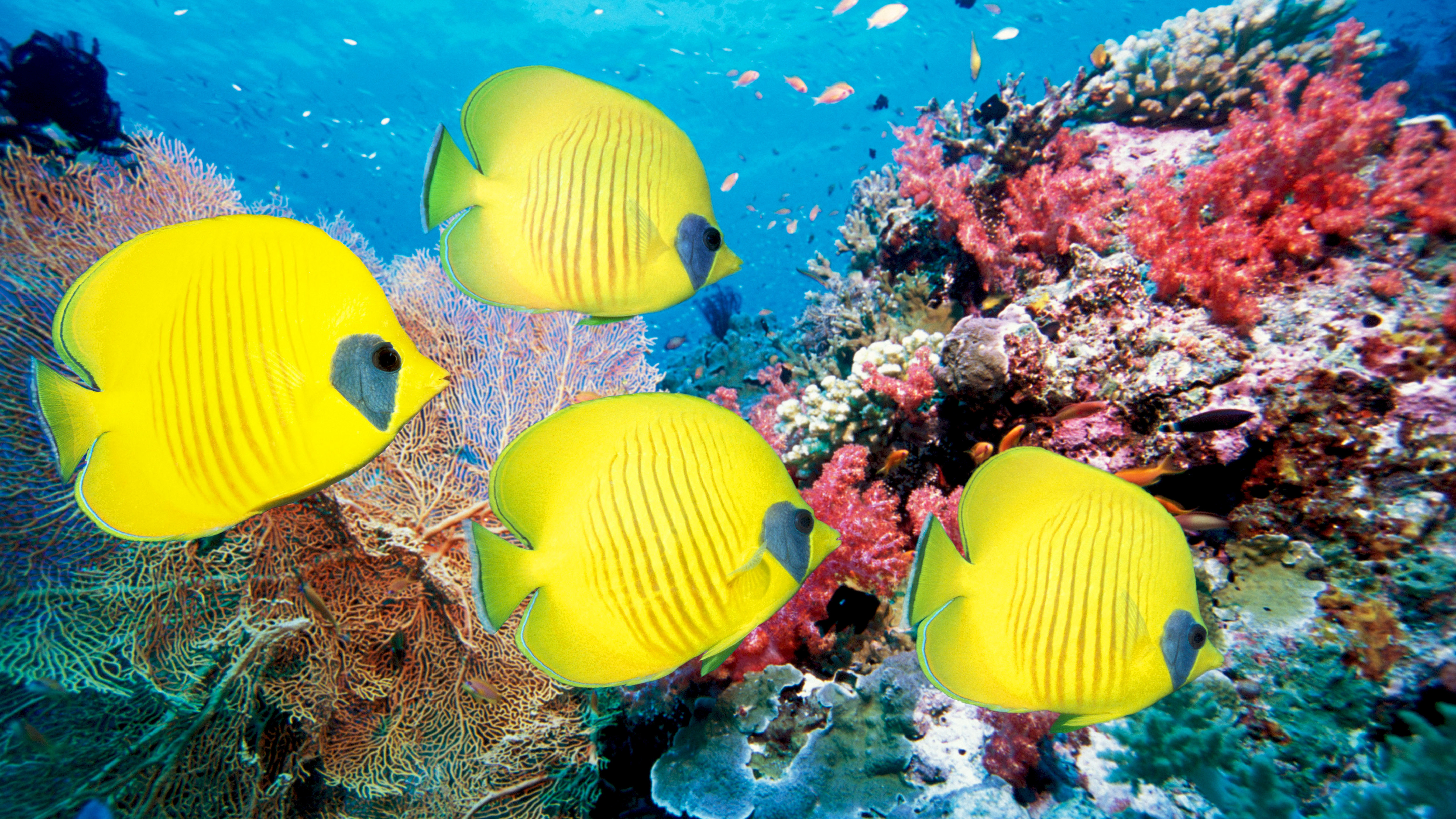 Желтая рыбка  № 1707610 без смс