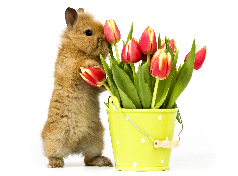 кролик с тюльпанами  № 1144571 без смс