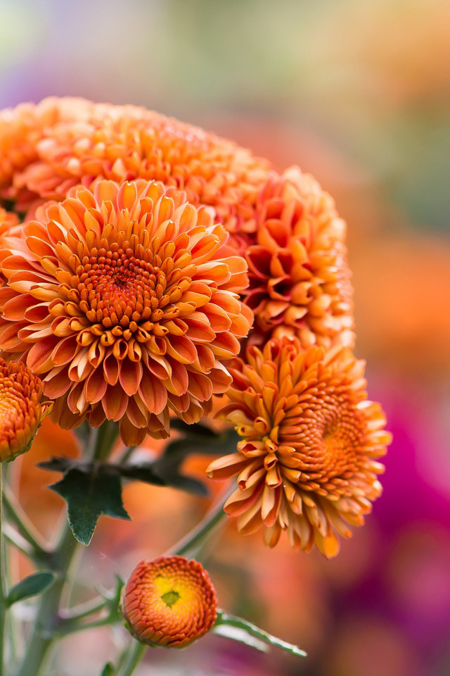 красивые осенние цветы картинки вертикальные иллюзия впечатление