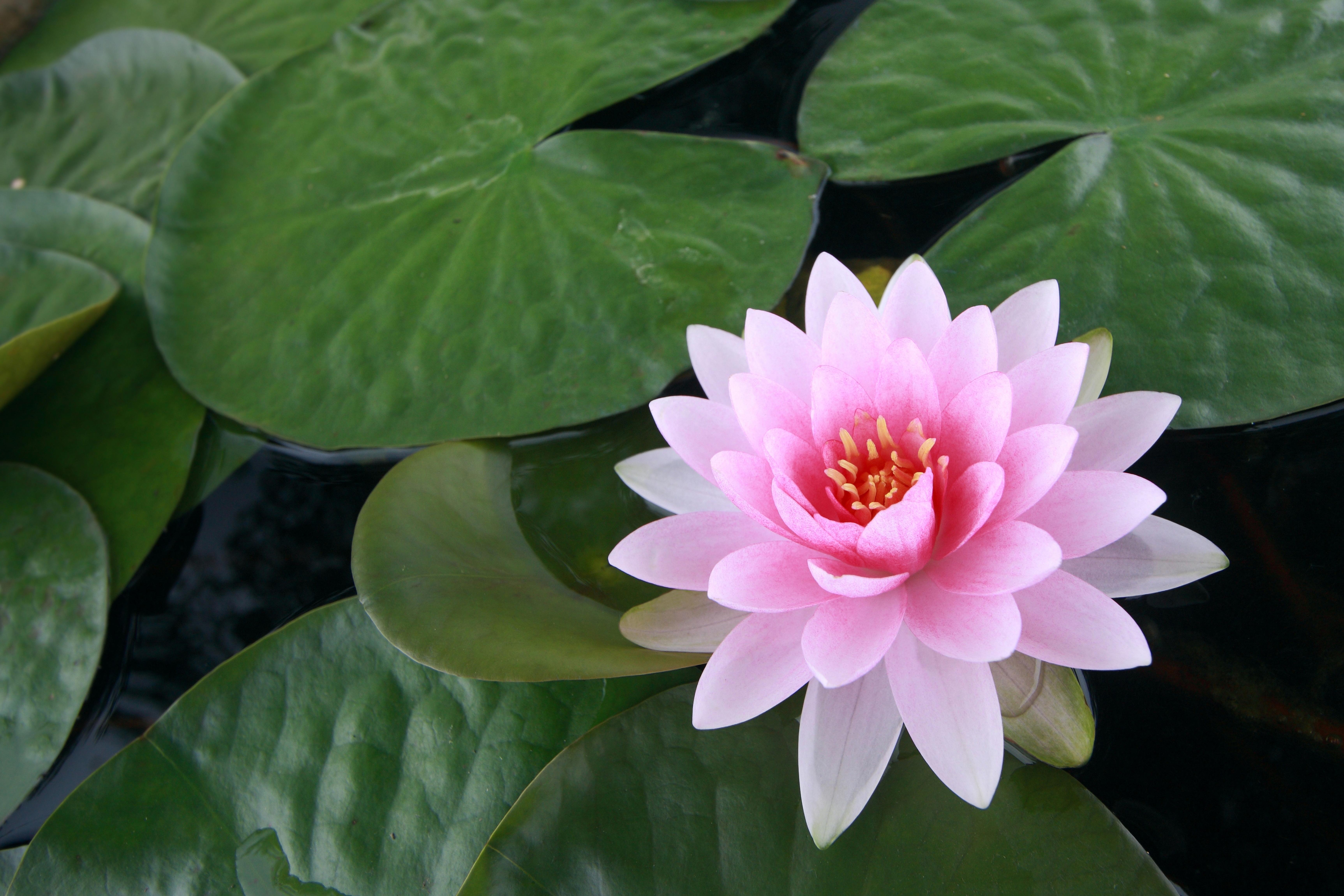 Кувшинка фото цветок