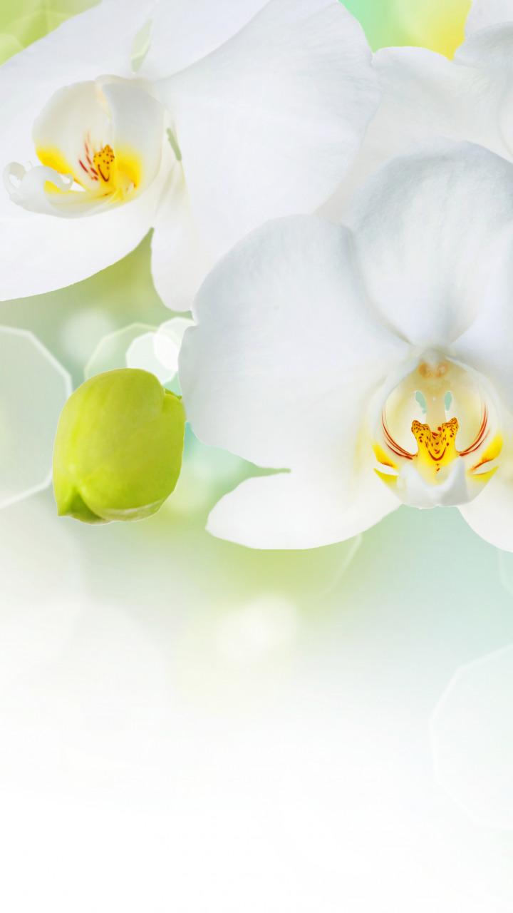 орхидея фаленопсисобои для айфон 5с ароматов Принято считать