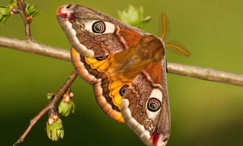 Лучик света - энциклопедия для детей: насекомые. Бабочка Павлиноглазка