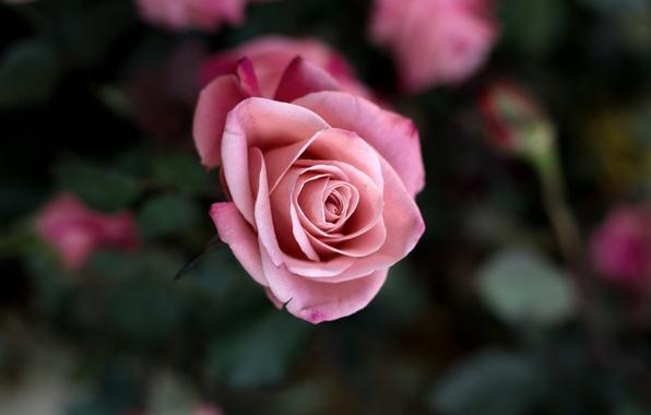 Картинка цветок, макро, цветы, розовая, роза, куст, красота, лепестки, размытость, бутон