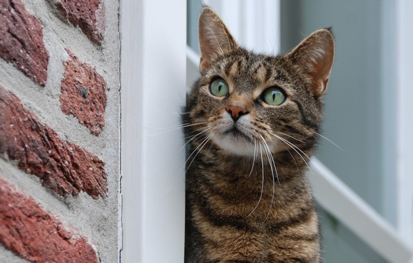 Картинка усы, шерсть, Кот, окно