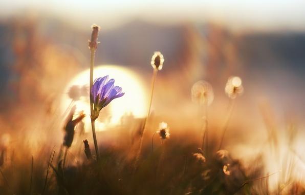 Картинка цветок, трава, макро, рассвет, боке