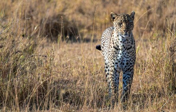 Картинка хищник, леопард, саванна, африка, большая кошка