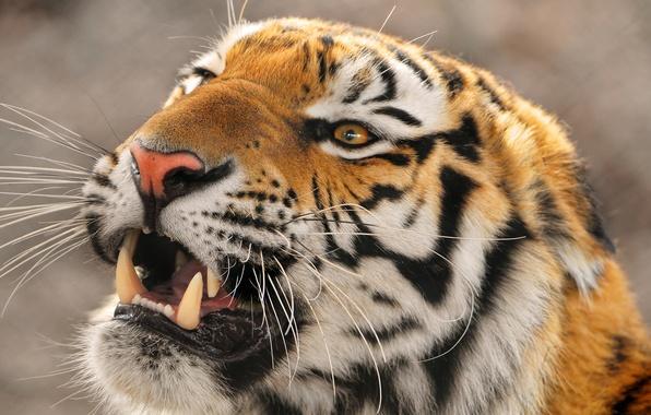 Картинка злой, дальневосточный, Амурский тигр, уссурийский, Panthera tigris altaica, крупный тигр, Amur tigr