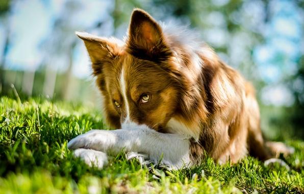 Картинка трава, взгляд, собака, лежит, Border Collie, Бордер колли