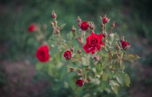 Картинка листья, роза, растение, куст, лепестки