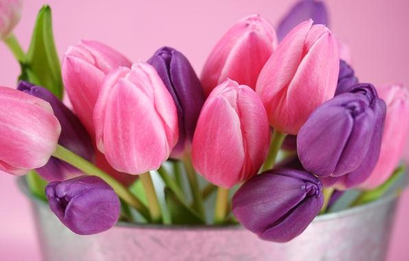 Картинка фиолетовый, цветы, розовый, тюльпаны, бутоны