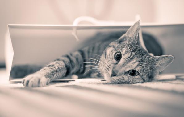 Картинка взгляд, шерсть, пакет, Кот