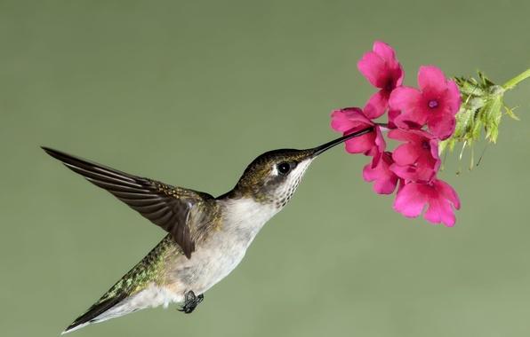 Картинка цветок, полет, цветы, природа, нектар, птица, крылья, клюв, колибри, завис