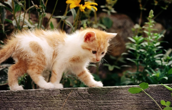 Картинка кошка, белый, кот, цветы, котенок, рыжий, cat