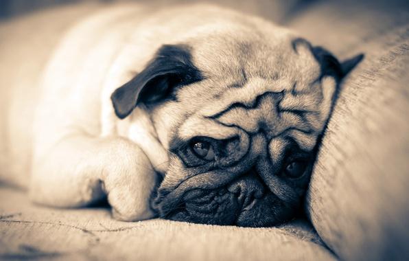 Картинка диван, собака, мопс, лежит