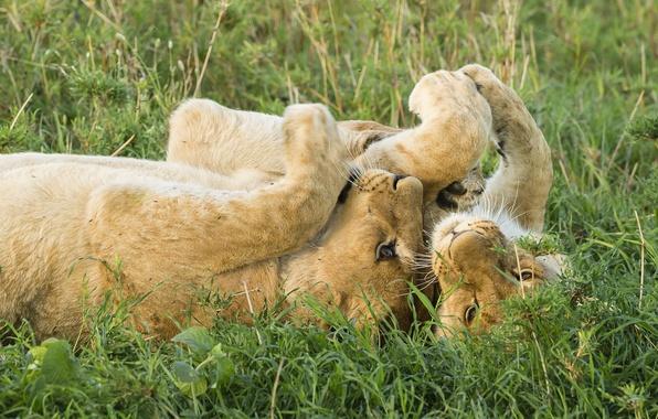 Картинка игра, лев, саванна, львы, львята