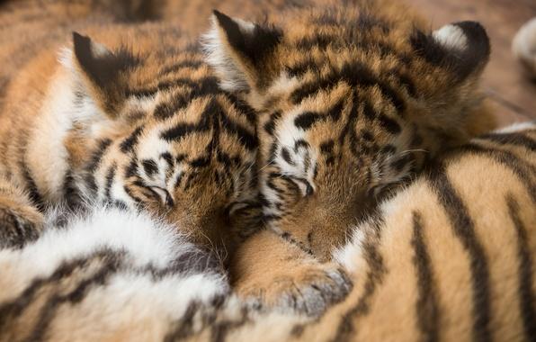 Картинка кошки, тигр, сон, котята, мех, тигрята, спят, амурский, детёныши
