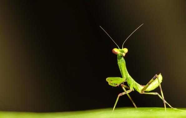 Картинка поверхность, лист, зеленый, богомол, насекомое, усики